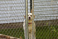 Caged dog a labrador canine is standing behind a fence with a look of sadness on its face Royalty Free Stock Photos
