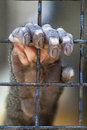Caged hand orangutans grasping on a chain linked fence Royalty Free Stock Image