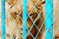 Caged Lion Royalty Free Stock Image