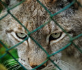 Caged lynx Royalty Free Stock Image