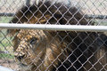 Caged Male Lion with a mane Closeup through fence & x28;Panthera leo& x29; Royalty Free Stock Photo