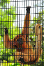 Caged Monkey Royalty Free Stock Image