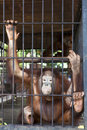 Caged Orangutan. Royalty Free Stock Image