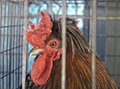 Caged rooster Royalty Free Stock Image