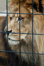 Caged sad lion Stock Photography