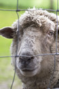 Caged sheep sympathetic portrait in a web cage Royalty Free Stock Photo