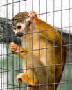 Caged Squirrel Monkey Stock Photography