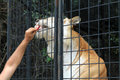 Caged tiger being feed through cage rescued eating eating from the hand of his master trainer and friend at renaissance festival Royalty Free Stock Image