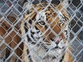 Caged Tiger Royalty Free Stock Photo