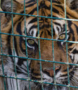 Caged tiger close up of sad looking behind fence Stock Photos