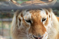 Caged tiger closeup rescued of face behind bars at renaissance festival south florida Royalty Free Stock Photography
