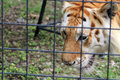 Caged tiger closeup rescued of face behind bars at renaissance festival south florida Royalty Free Stock Photo