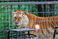 Caged tiger licking face rescued after feeding at renaissance festival south florida Royalty Free Stock Photo