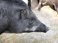 Caged wild hogs close up Stock Photo