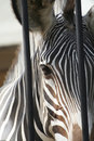 Caged zebra a at the zoo in rome italy Royalty Free Stock Image