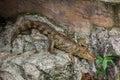 Caiman crocodilus image of cayman fuscus cano negro reserve alajuela costa rica Stock Images
