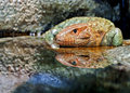 Caiman lizard reflected pool water Royalty Free Stock Images