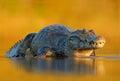 Caiman yacare caiman crocodile in the river surface evening yellow sun pantanal brazil wildlife Stock Images