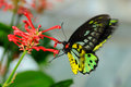 Cairn Birdwing Butterfly Royalty Free Stock Photo