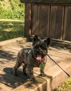 Cairn terrier on big wood bench Royalty Free Stock Photo