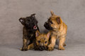 Cairn terrier dog Stock Photos