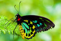 Cairns Birdwing Butterfly Stock Photos