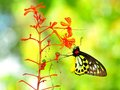 Cairns Birdwing butterfly feeding on red flowers Royalty Free Stock Photo
