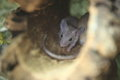 Cairo spiny mouse in the shelter Royalty Free Stock Photo