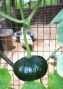 Calabaza verde Foto de archivo