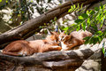 Calacal karakal family in nature lying on tree Stock Photo