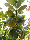Calamansi - Well Known Sweeter Lime with Fragrance  in Asia Royalty Free Stock Photo