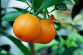 Calamondin Citrus Oranges Stock Image