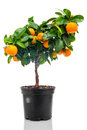 Calamondin in flowerpot isolated on white background Royalty Free Stock Images