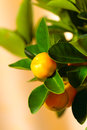 Calamondin tree with ripe fruits close up Stock Images