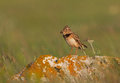 A calandra lark with food an adult on perch in the last natural steps in bulgaria Royalty Free Stock Photos