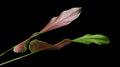Calathea ornata Pin-stripe Calathea leaves, tropical foliage isolated on black background