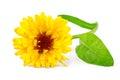 Calendula flower or marigold flower Calendula officinalis isolated on white Royalty Free Stock Photo