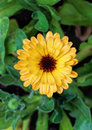 Calendula flower of the pacific beauty variety Stock Photography