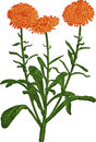 Calendula flower. Vector Stock Photography