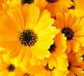 Calendula flowers Stock Photography
