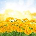 Calendula flowers  in garden Royalty Free Stock Photo