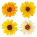 Calendula flowers isolated Royalty Free Stock Photo