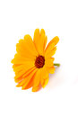 Calendula flowers isolated on white yelow Royalty Free Stock Images