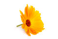 Calendula flowers isolated on white yelow Royalty Free Stock Photo