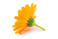 Calendula flowers isolated on white yelow Royalty Free Stock Photography