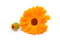 Calendula flowers isolated on white yelow Stock Photo