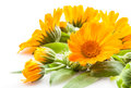 Calendula flowers with leaves isolated on white background Stock Images