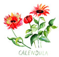 Calendula flowers orginal watercolor illustration Royalty Free Stock Image