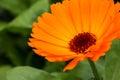 Calendula is a genus
