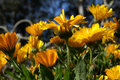 Calendula marigold flowers in northern california golden yellow growing near the pacific ocean Stock Photo